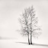 Frang Dushaj-Silver Birches